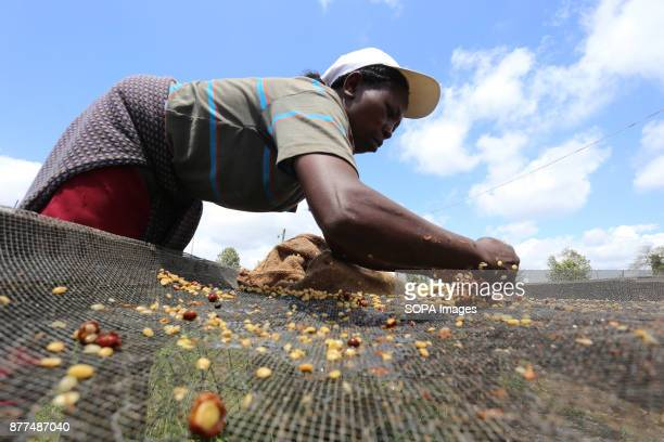 Worker collecting parchment coffee on drying canvas at Gikanda Farmers Cooperative Society in Nyeri County 125 Kilometers North of Kenyas capital...