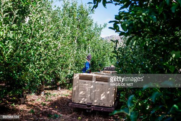A worker collects apples on a fruit farm in Piket Boberg Piketberg north of Cape Town on March 7 2018 Fruit farmers in the Piket BoBerg who have been...