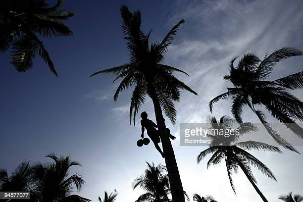 A worker collects coconuts from the top of a tree at a coconut plantation outside Legazpi City in Bicol the Philippines on Sunday May 20 2007 The...