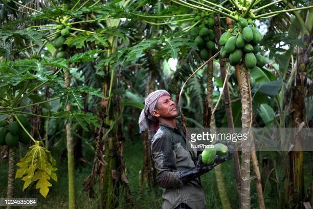 Worker collects fruits from a papaya plant in Magura, Bangladesh on July 02, 2020.