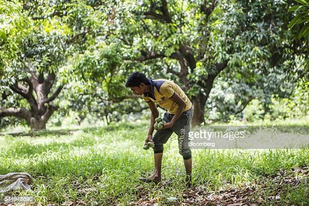 A worker collects mangoes in an orchard on the family farm of landowner Kunwar Vikram Jeet Singh in Kuchesar Uttar Pradesh India on Tuesday May 24...