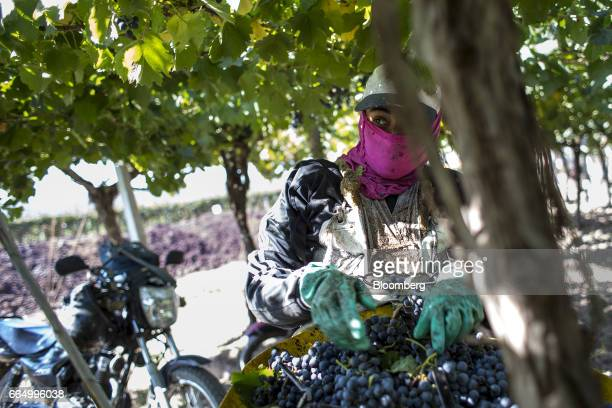 A worker collects red wine grapes at the Bodega Santa Julia Finca Maipu vineyard in Mendoza Argentina on Tuesday March 23 2017 The Argentine wine...