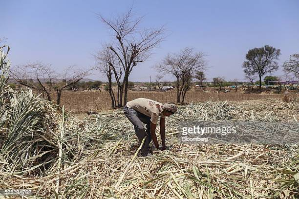 A worker collects sugarcane tops at a cattle shelter in Beed district Maharashtra India on Friday April 15 2016 Hundreds of millions of people in...