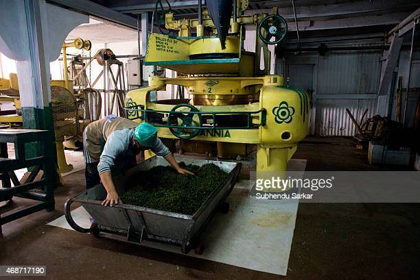 A worker collects tea leaves after being rolled by a machine at Makaibari tea factory Set up in 1859 off Kurseong in the Darjeeling hills the...