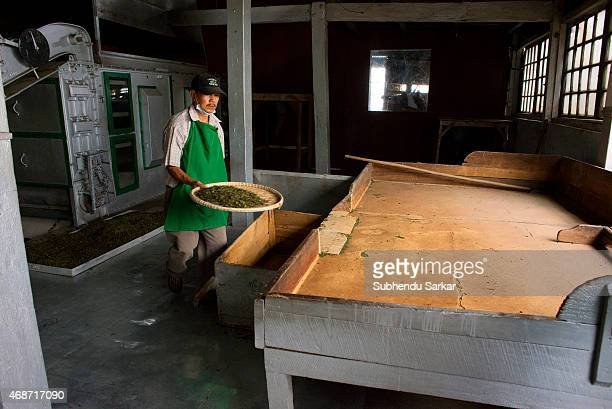 A worker collects tea leaves after they have been ninety per cent dried in a machine at Makaibari tea factory Set up in 1859 off Kurseong in the...