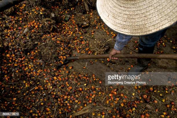 A worker collects the fruit from oil palm trees