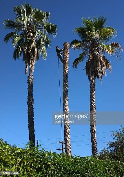 A worker cuts palm trees in a residential neighbourhood on August 27 2012 in Woodland Hills CaliforniaAFP PHOTO/JOE KLAMAR