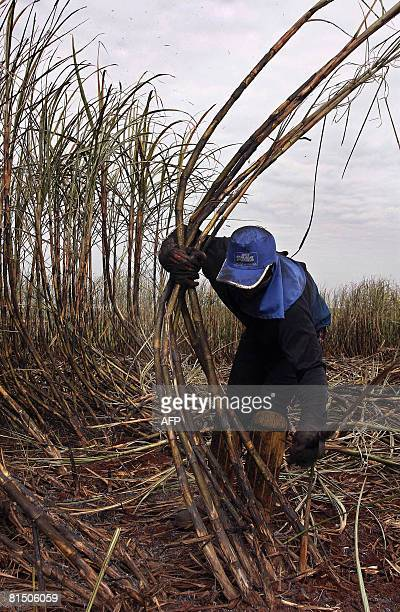 STORY A worker cuts sugar cane with a machete in the Usina Bonfim farm plantation of the COSAN group which is Brazil's biggest ethanol producer in...