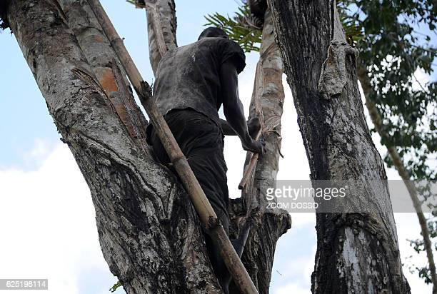 A worker cuts the bark of a rubber tree on a plantation of US company Firestone in Harbel Liberia on October 17 2016 US rubber giant Firestone no...