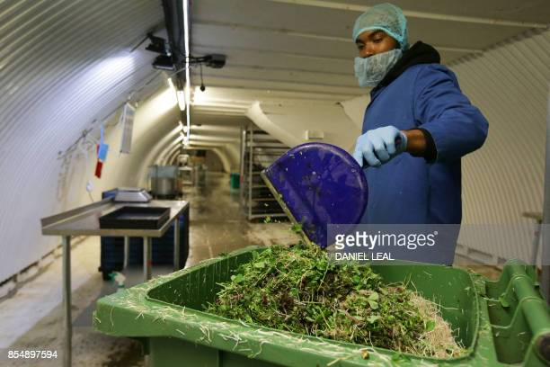 A worker discards microgreens at the urban farm project 'Growing Underground' in Clapham south London on September 13 2017 Under an anonymous back...