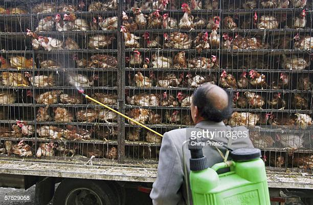 Worker disinfects chickens transported to a chicken slaughtering factory on May 4, 2006 in Xining of Qinghai Province, China. Surveillance has been...