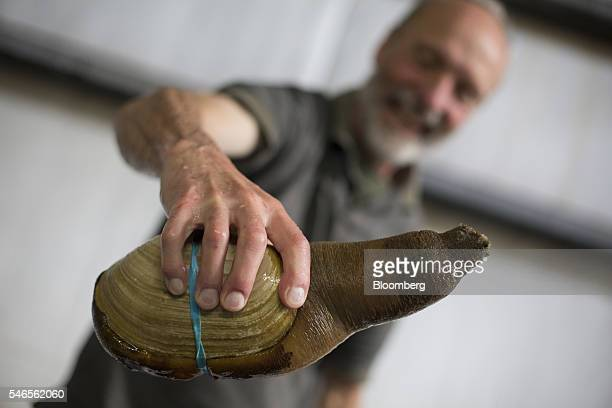 A worker displays a geoduck for a photograph at the Taylor Shellfish Co hatchery in Quilcene Washington US on Monday May 9 2016 Geoducks are the...