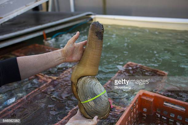 A worker displays a large geoduck weighing approximately ten pounds for a photograph at a Taylor Shellfish Co processing plant in Olympia Washington...