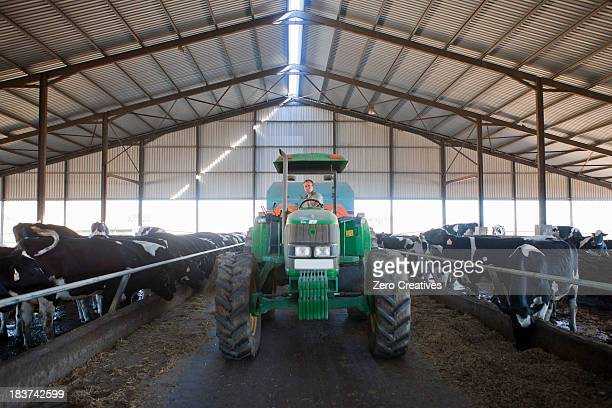 Worker driving tractor in cattle shed