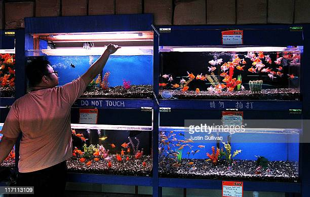 A worker drops food into a tank of Goldfish at Pet Central pet supply store on June 22 2011 in San Francisco California San Francisco's Animal...