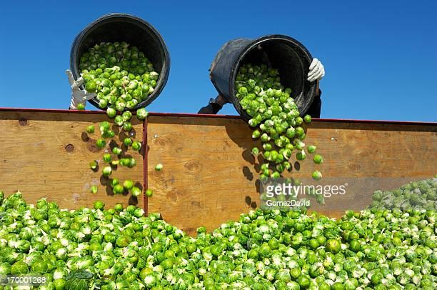 員 dumping ブリュッセルもやし - farm workers california ストックフォトと画像