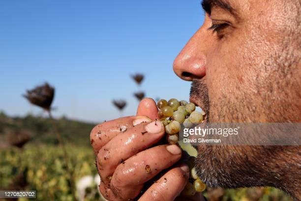Worker enjoys Chenin Blanc wine grapes during the harvest for Seahorse Winery in the winery's organic vineyard on August 28, 2020 in the Bar Giora...