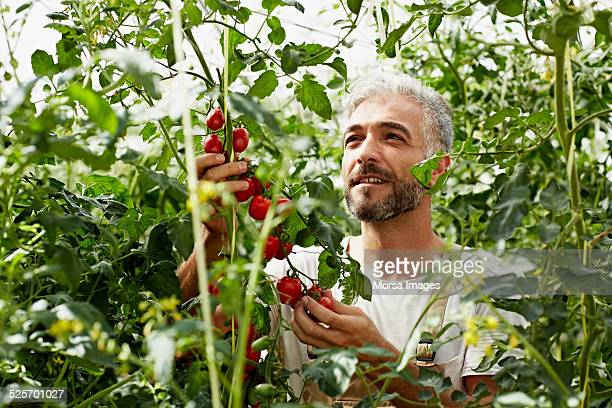 Worker examining tomatoes at organic farm