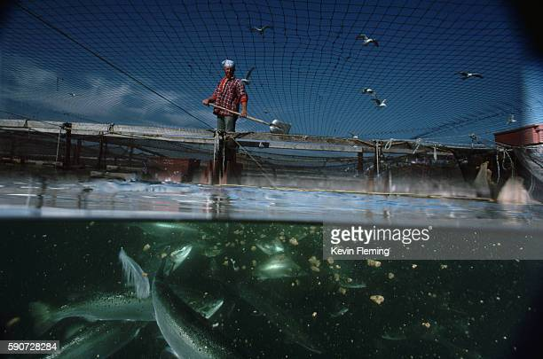 Worker Feeding Fish at Fish Farm