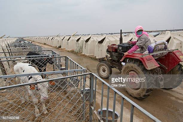 A worker feeds calfs housed in kennels at Austasia's No 3 dairy farm in Dongying Shandong Province China on 31 October 2013 By the end of 2014 the...