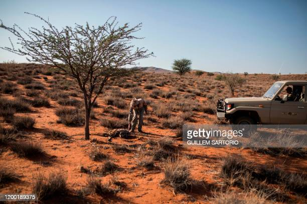 A worker from the Thuru Lodge Game farm picks up the carcass of a dead animal at the Thuru Lodge Game farm near Groblershoop on January 16 2020 In...