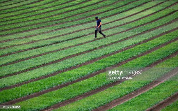 A worker from the UK Seasonal Relief Team working for The Watercress Company crosses the spinach beds as the team harvests spinach on farmland near...