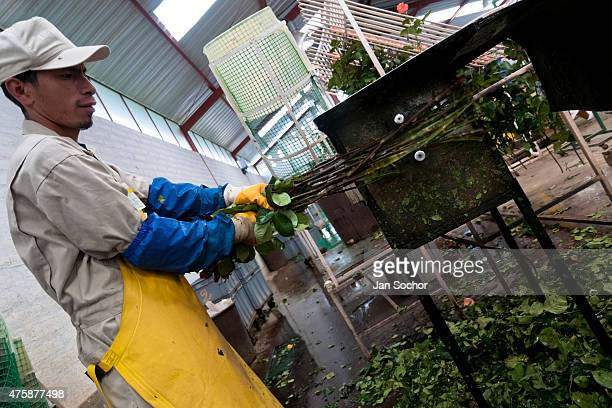 A worker gets off the rose spines at a flower farm in Cayambe Ecuador 29 June 2010 Ecuador is one of the world leaders in cut flower industry The...