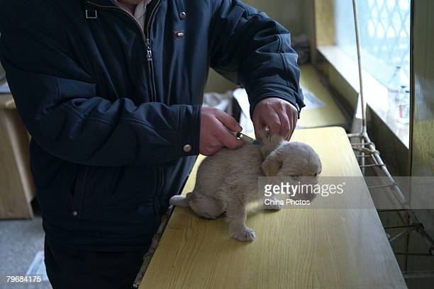 A worker gives an injection to a stray dog to diminish inflammation in a pet shop February 9 2008 in Xuzhou of Jiangsu Province China The number of...