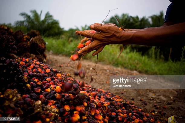 Worker grabs seeds from palm oil plants harvested in Kuala Cenaku on October 3, 2010 in Riau Province, Sumatra, Indonesia. Norway entered a...