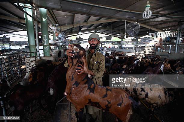 A worker handles a goat ahead of Eid celebrations at Dubai Cattle Market on September 8 2016 in Dubai United Arab Emirates Muslims across the world...