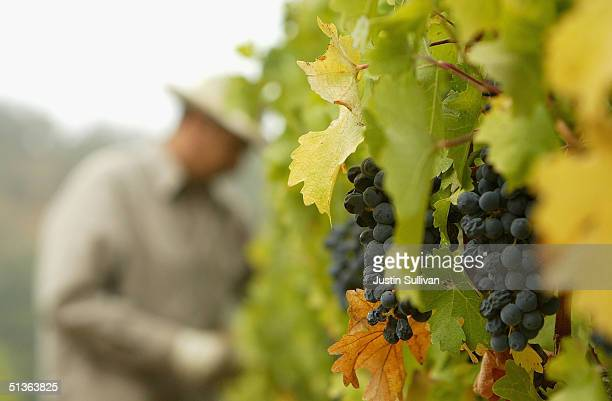 A worker handpicks cabernet sauvignon wine grapes at the Stags' Leap Winery September 27 2004 in Napa California The 2004 California wine harvest...