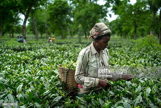 A worker handpicks tea leaves at the Korangani Tea Estate in the Dibrugarh district of Assam India on Saturday Aug 20 2016 India's secondquarter...