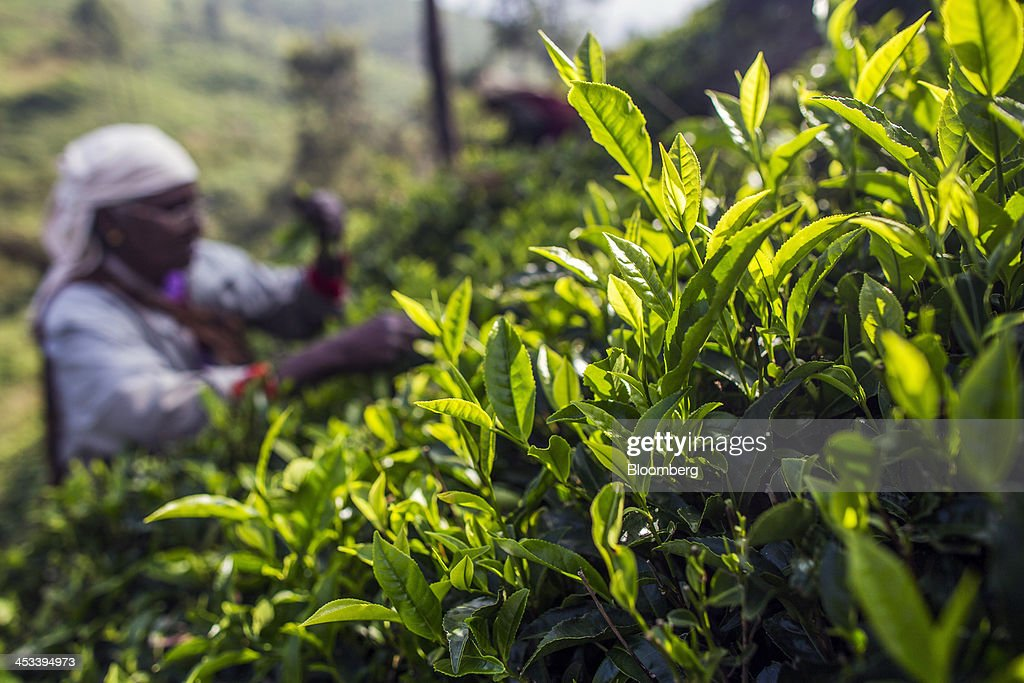 A worker hand-picks tea leaves on a tea estate in Coonoor, Tamil Nadu, India, on Saturday, Nov. 30, 2013. India is the worlds largest producer of tea after China. Photographer: Prashanth Vishwanathan/Bloomberg via Getty Images