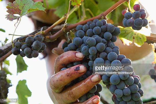 Worker harvesting grapes, cropped