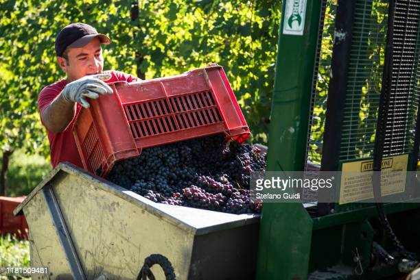 Worker harvesting grapes during the grape harvest for Barolo wine on October 16 2019 in Verduno Italy