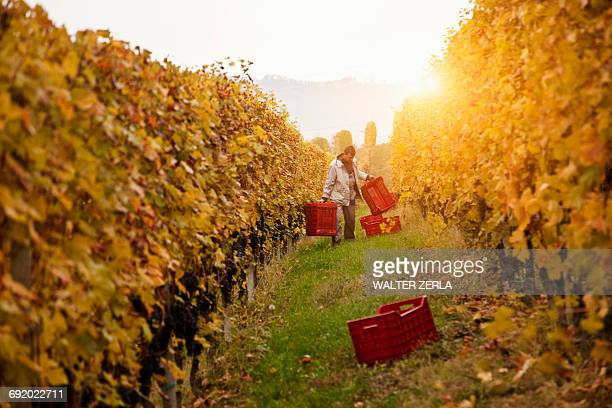 Worker harvesting red grapes of Nebbiolo, Barolo, Langhe, Cuneo, Piedmont, Italy