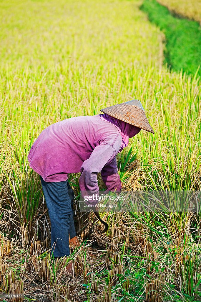 Worker harvesting rice, Ubud, Bali : Stock Photo