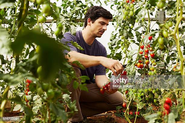 Worker harvesting ripe tomatoes at organic farm