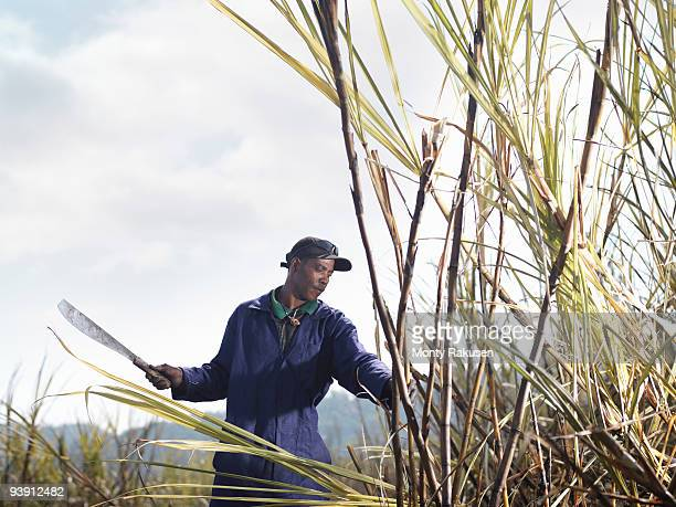 Worker Harvesting Sugar Cane