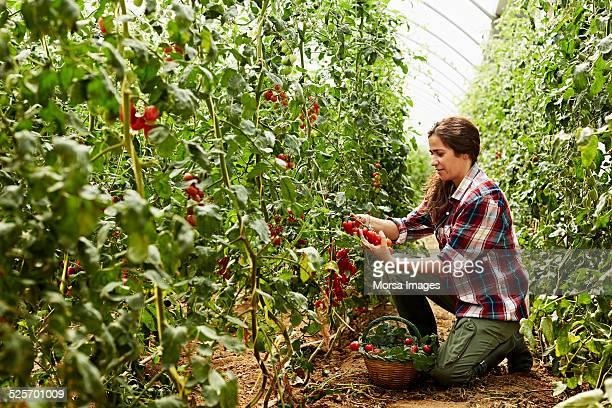 worker harvesting tomatoes at organic farm - culturas imagens e fotografias de stock