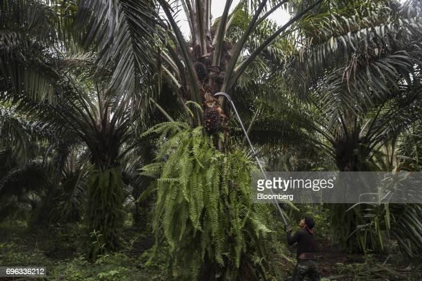 A worker harvests African oil palm fruit at the Empresa Reforestada de Palma de Peten SA plantation in Sayaxche El Peten department Guatemala on...