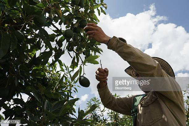 A worker harvests avocados at the Finca Los Abuelos plantation in El Penol Colombia on Thursday Oct 22 2015 Colombian Hass avocado exports to the...