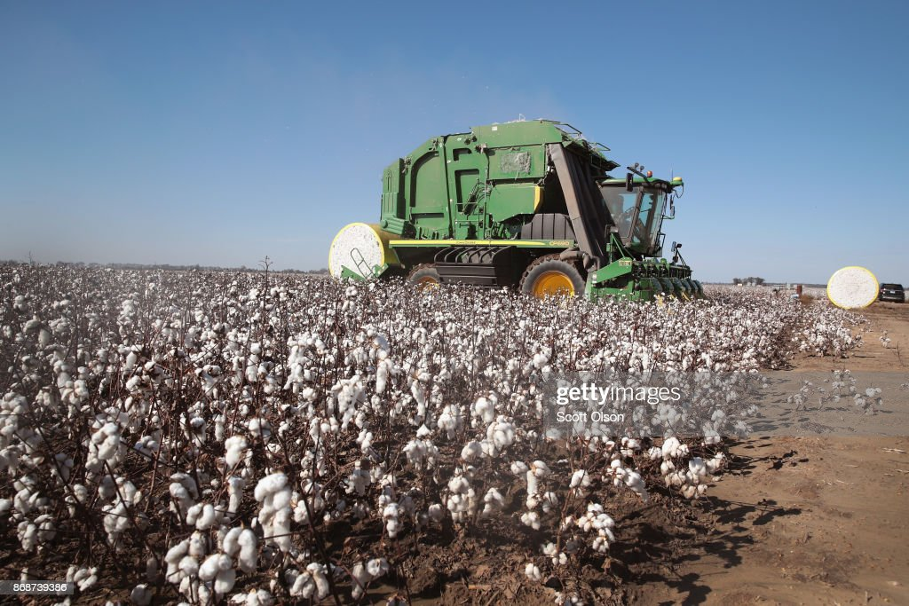 Despite Hurricane Damage, Cotton Production Expected To Rise In 2017 : News Photo