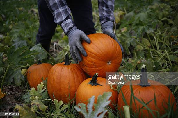 A worker harvests jacko'lantern pumpkins at a Frey Farms Inc pumpkin patch in Poseyville Indiana US on Thursday Oct 13 2016 Frey Farms is a...
