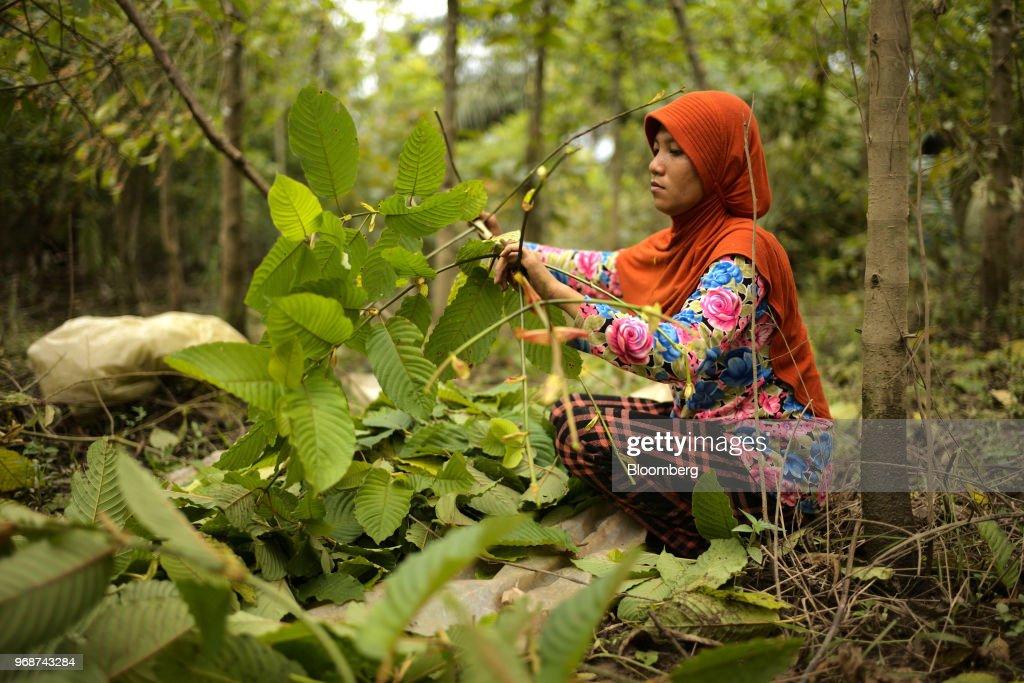 Kratom Harvesting and Processing in Indonesian Borneo : Fotografía de noticias