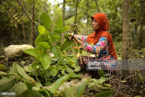 49 Kratom Harvesting And Processing In Indonesian Borneo