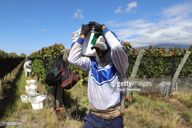 Worker harvests Malbec grapes in the foothills of the Andes mountains at the Flechas de los Andes winery on March 26, 2019 in the Valle de Uco region...