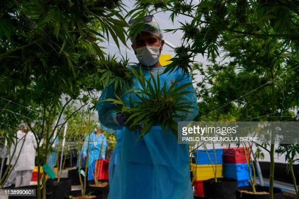 TOPSHOT A worker harvests marijuana in a greenhouse at the Fotmer Life Sciences company in Nueva Helvecia 120 Km west of Montevideo Uruguay on April...