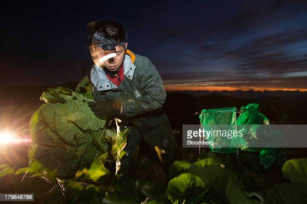 A worker harvests napa cabbages in a field on Anbandeok Hill at dawn in Gangneung South Korea on Thursday Sept 5 2013 South Korea's second quarter...