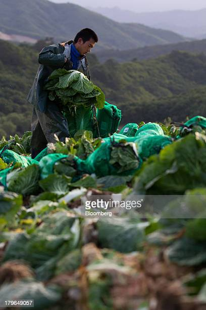 A worker harvests napa cabbages in a field on Anbandeok Hill in Gangneung South Korea on Thursday Sept 5 2013 South Korea's second quarter gross...